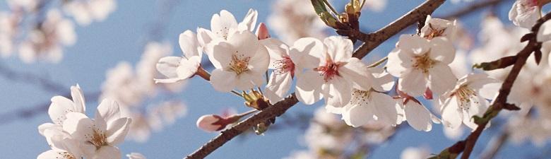 桜モチーフの柄